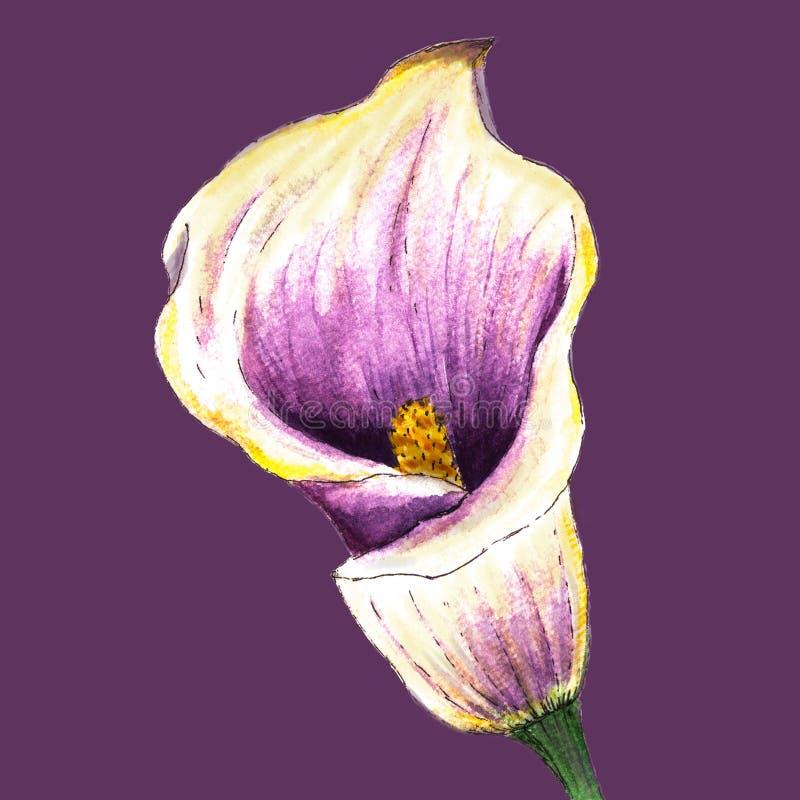 Realistisk wite-violett vattenfärgcallalilja, hörn på på en purpurfärgad bakgrund stock illustrationer