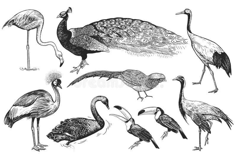 Realistiska fåglar påfågel, tukan, flamingo, fasan, kran, vektor illustrationer
