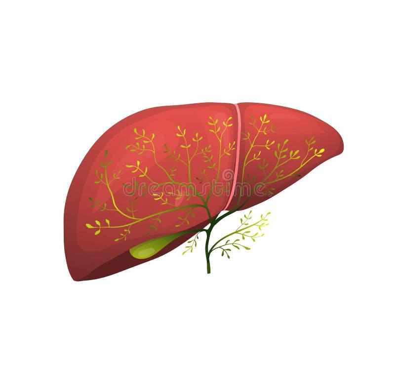 Realistiskt organbegrepp för organisk grön sund lever royaltyfri illustrationer