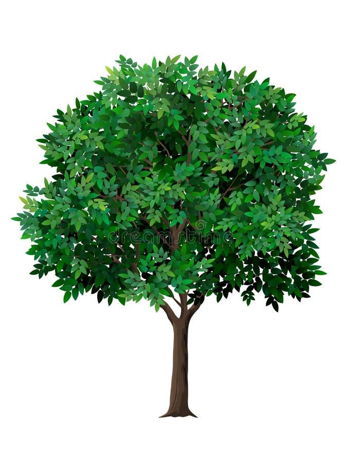 Realistiskt träd för vektor med gröna sidor royaltyfri illustrationer