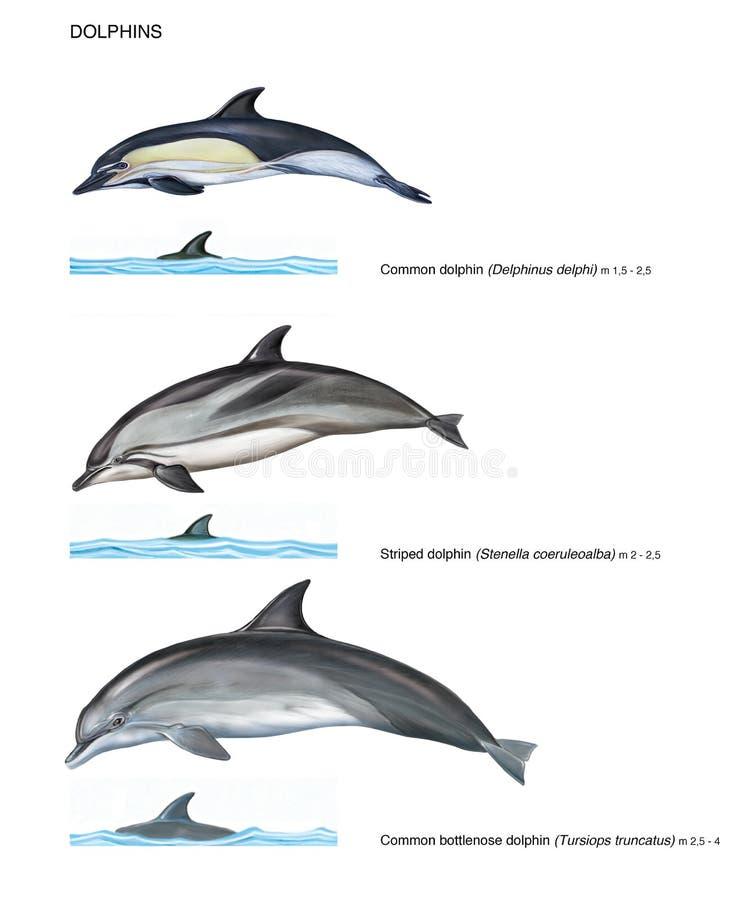 Realistyczna ilustracja 3 gatunku delfiny ilustracji