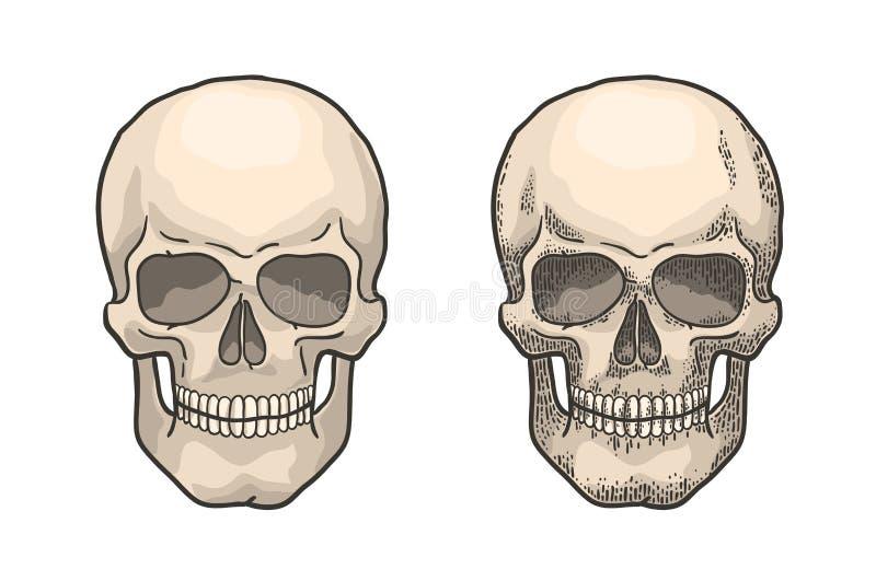 Realistyczna ludzka czaszka w stylu rocznika rytownictwa ilustracja wektor