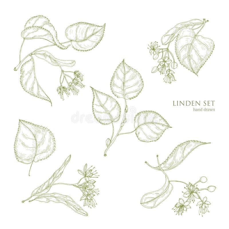 Realistyczni naturalni rysunki lipowi liście i piękni czuli kwiaty Części kwitnąca drzewna ręka rysująca z konturem ilustracja wektor