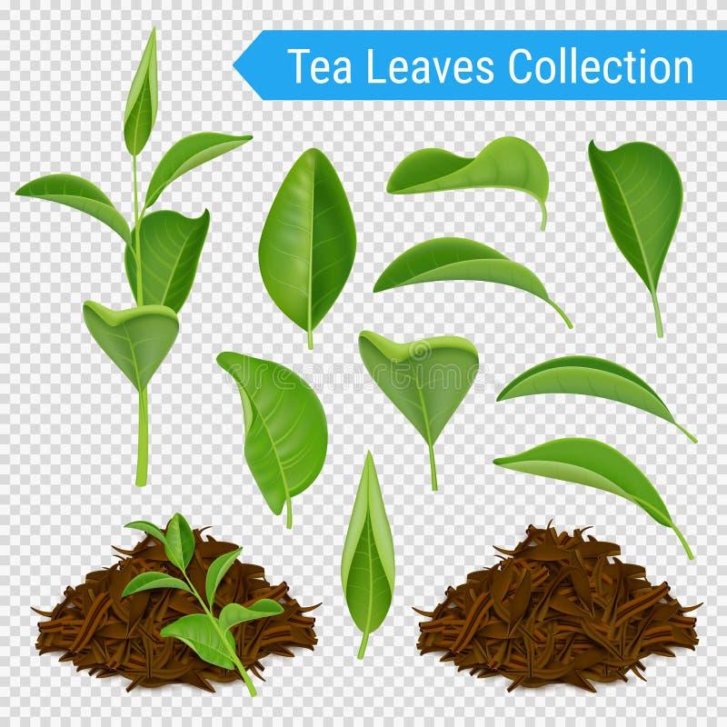 Realistyczny Herbacianych liści Przejrzysty set royalty ilustracja
