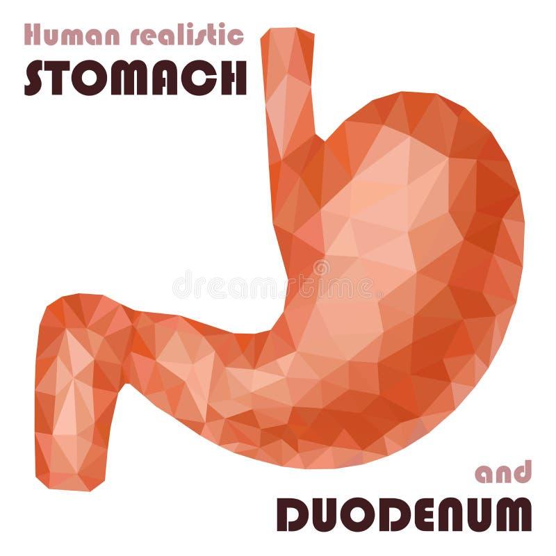 Realistyczny niski poli- ludzki żołądek i dwunastnica Zdrowy trawienny ilustracja wektor