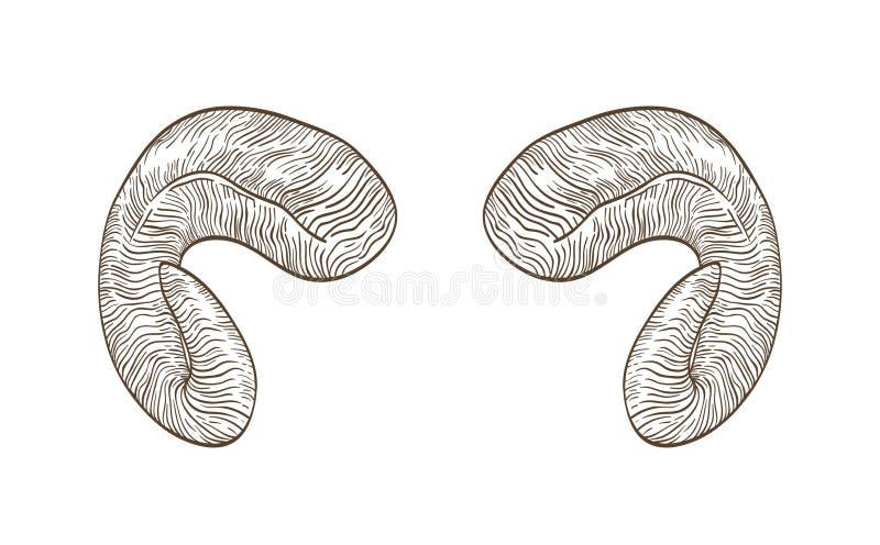 Realistyczny rysunek rogi rysujący z konturowymi liniami na białym tle baran ręka Naturalny dekoracyjny projekta element royalty ilustracja