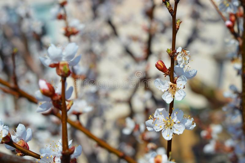 Beautious branches of an apricot. Realy beautiful blooming branches of an apricot tree. Spring in air, gorgeous flowers and beauteous colors.n stock image