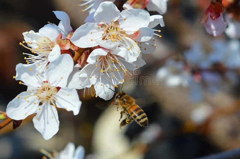 Realy beautiful view with a blooming branch of apricot and a cute bee royalty free stock photography