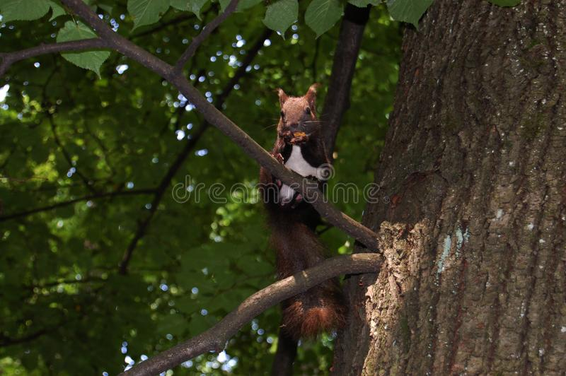 Squirrel sits on a tree branch. Rear green background blurred. Squirrel with brown and white fur royalty free stock photography