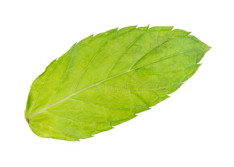 rear side of wet fresh green leaf of mint herb royalty free stock images