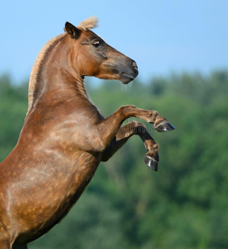 Download Rear sorrel highland pony stock photo. Image of highland - 26991418