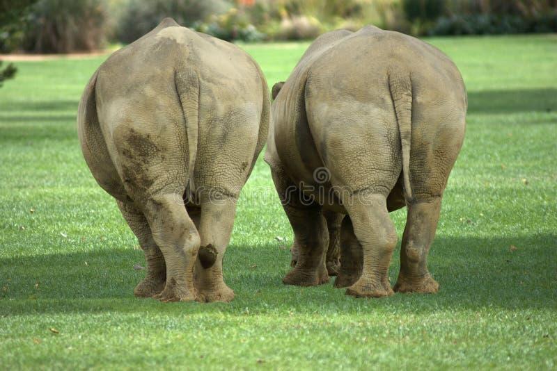 Rear of two fat white rhinos royalty free stock photos