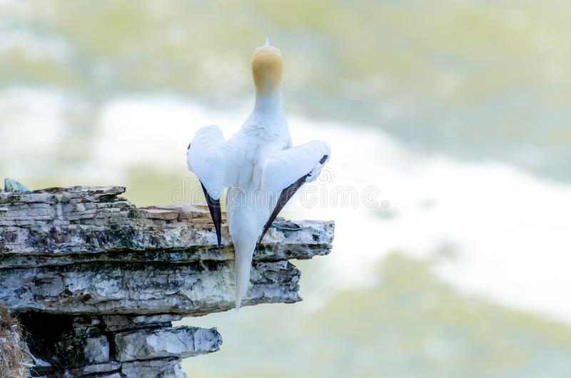 A rear view of an adult gannet bird nesting on a rocky outcrop stock photo