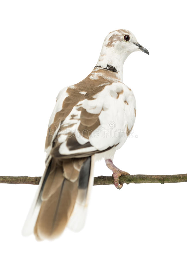 Rear view of an African Collared Dove perched. On branch, Streptopelia roseogrisea, against white background stock photo