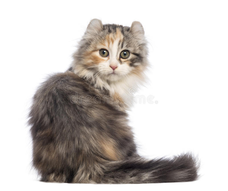 Rear view of an American Curl kitten, 3 months old, sitting and looking at the camera. In front of white background stock image