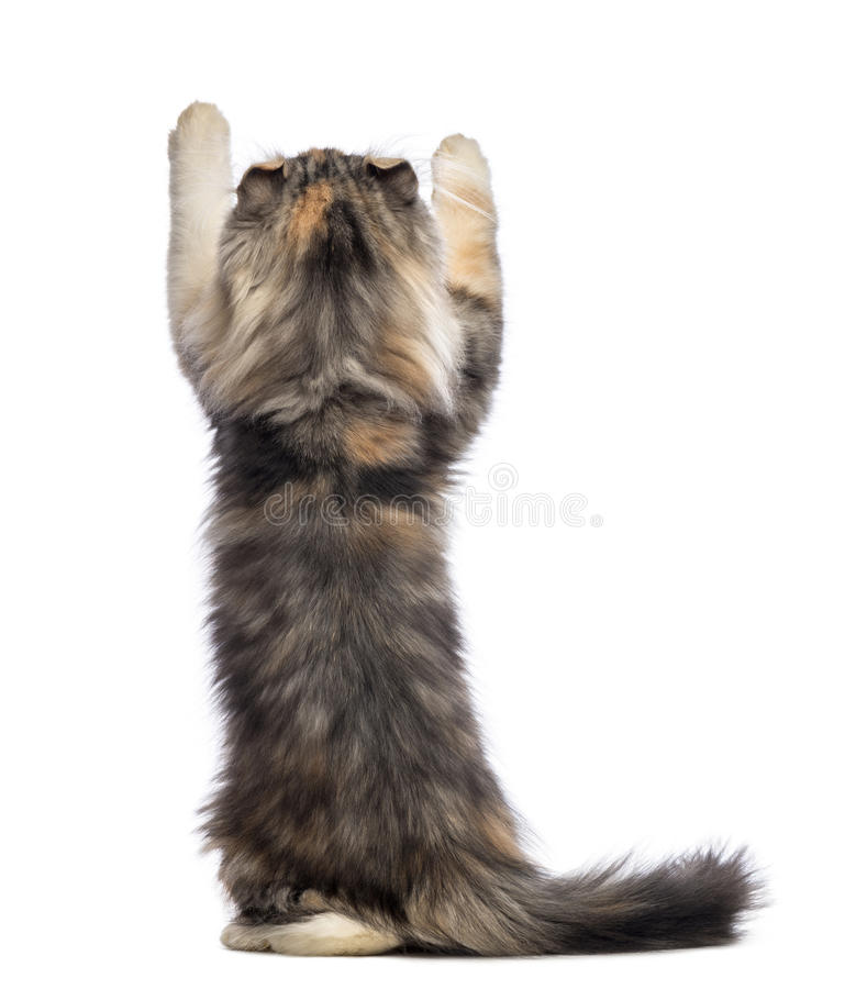 Rear view of an American Curl kitten, 3 months old, standing on hind legs and reaching. In front of white background royalty free stock photography