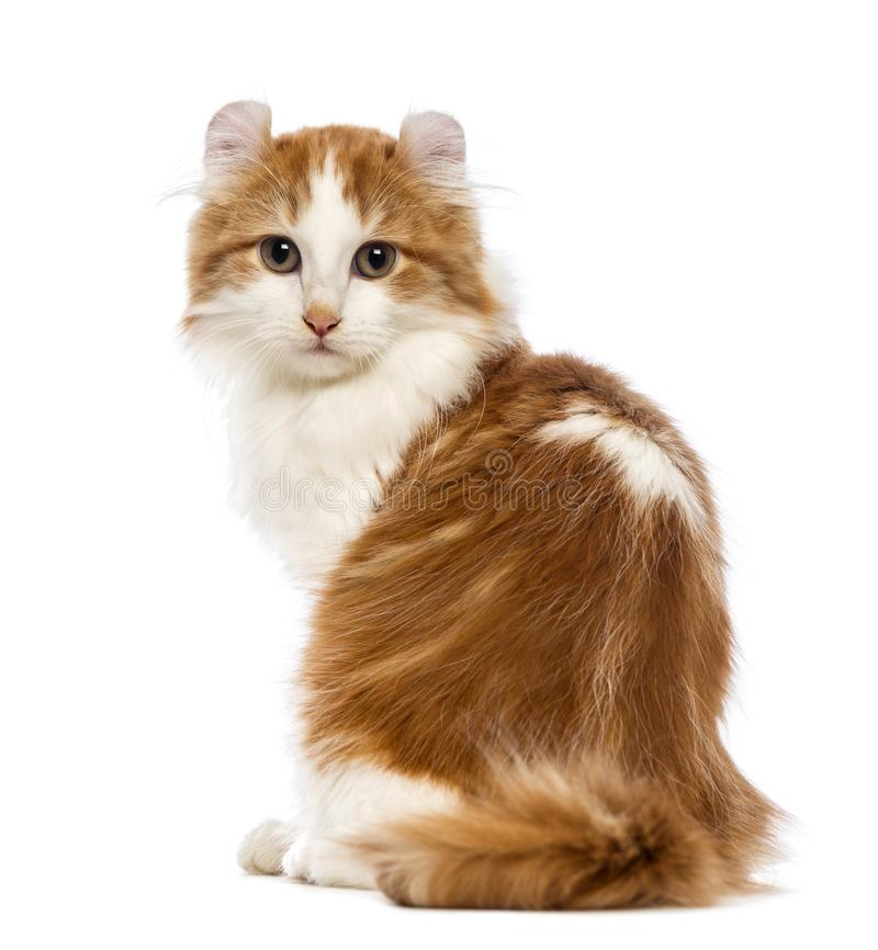 Rear view of an American Curl kitten, 3 months old, sitting and. Looking at the camera in front of white background stock photo