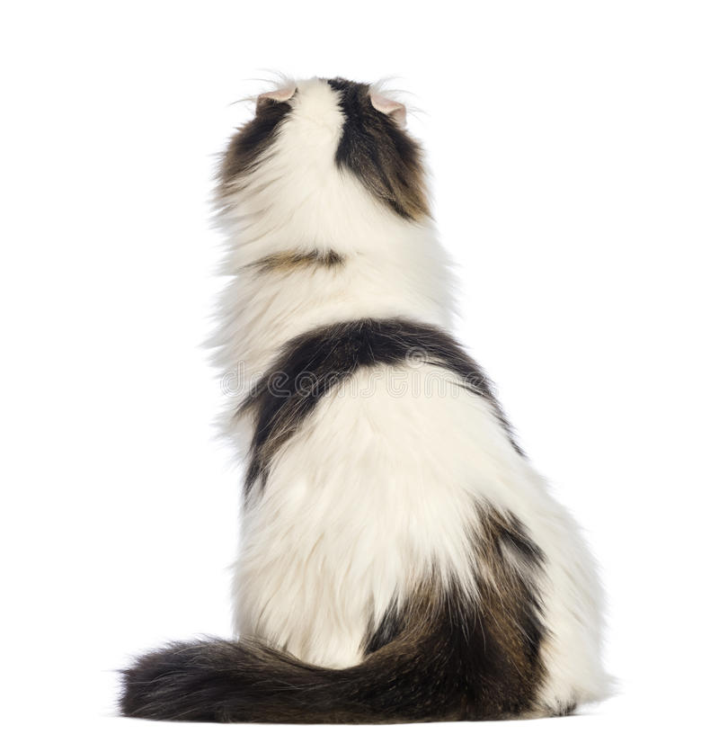 Rear view of an American Curl sitting and looking up. In front of white background royalty free stock photography
