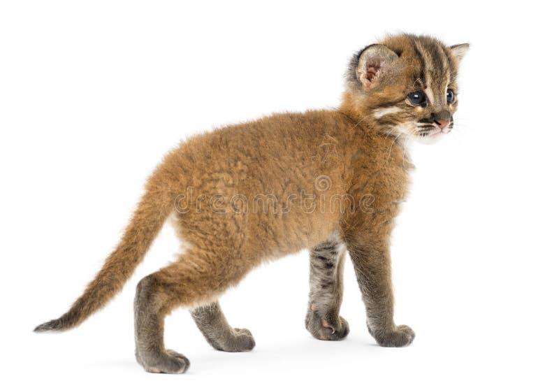 Rear view of an Asian golden cat, Pardofelis temminckii. 4 weeks old royalty free stock images