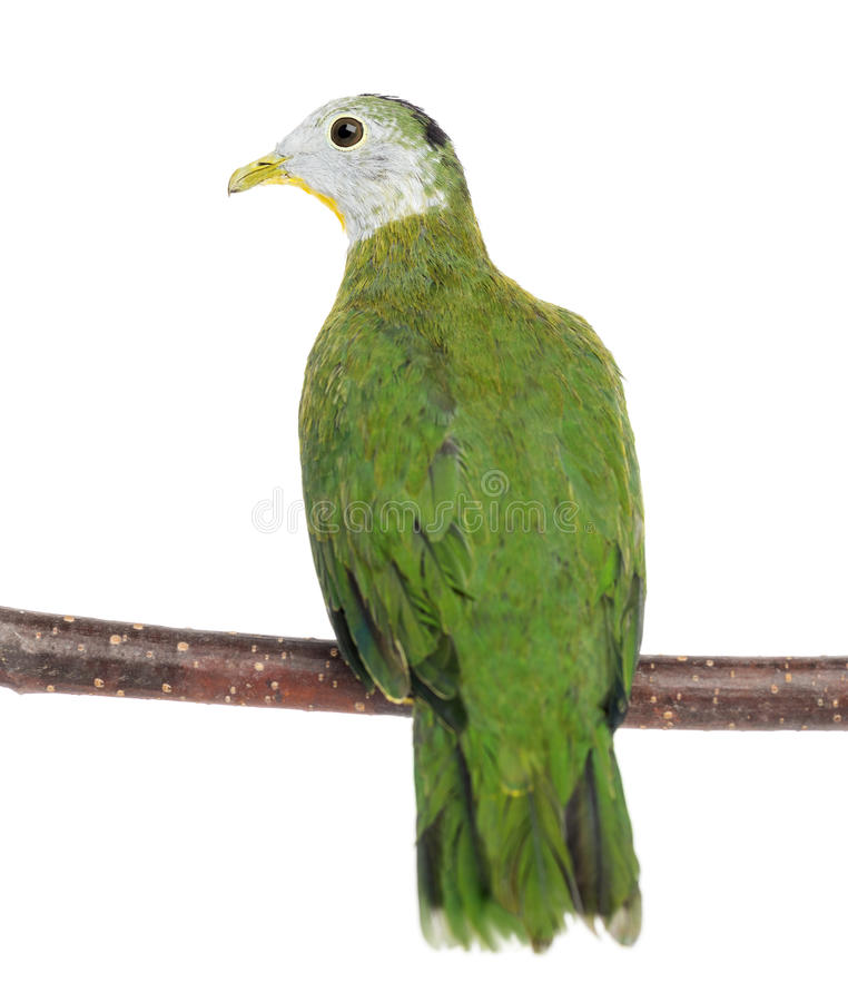 Rear view of a Black-naped Fruit Dove perched. On branch, Ptilinopus melanospilus, 3.5 months old against white background royalty free stock image