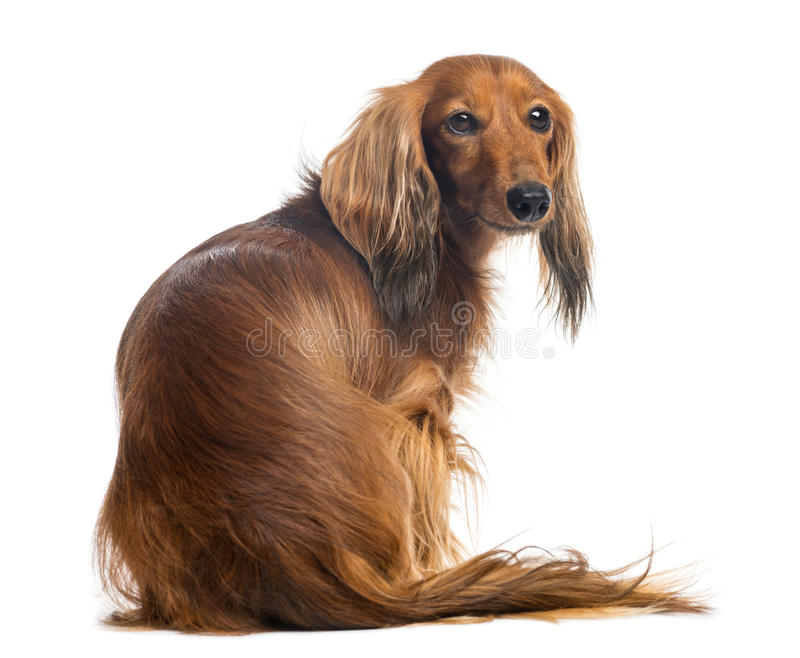 Rear view of a Dachshund, 4 years old, sitting. And looking back against white background stock photo