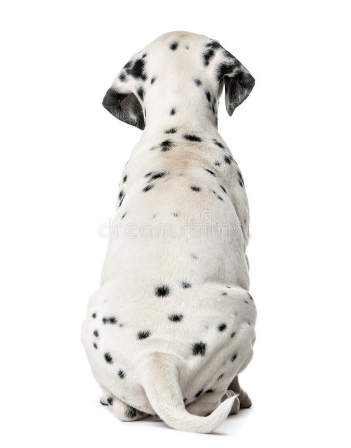 Rear view of a Dalmatian puppy sitting. In front of a white background royalty free stock photo
