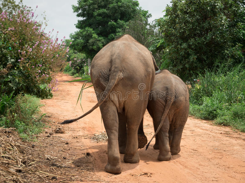 Rear view of an elephant with her baby. royalty free stock image