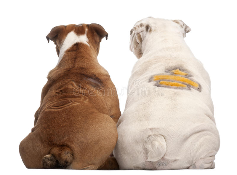 Rear view of English Bulldogs. With design on their back, 2 years old and 7 months old, in front of white background stock images