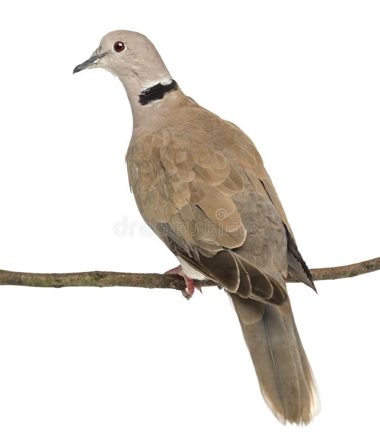 Rear view of an Eurasian Collared Dove perched stock photography