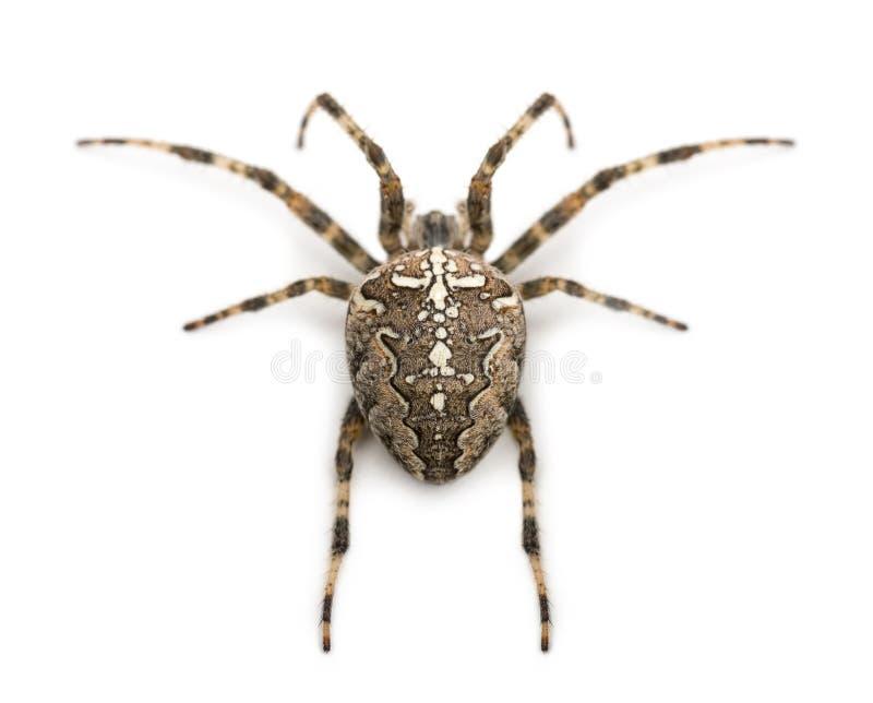 Rear view of an European garden spider, Araneus diadematus, against white background royalty free stock photos