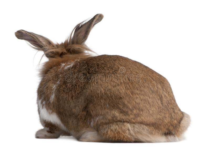 Rear view of a European Rabbit, Oryctolagus cuniculus. Sitting in front of white background stock image