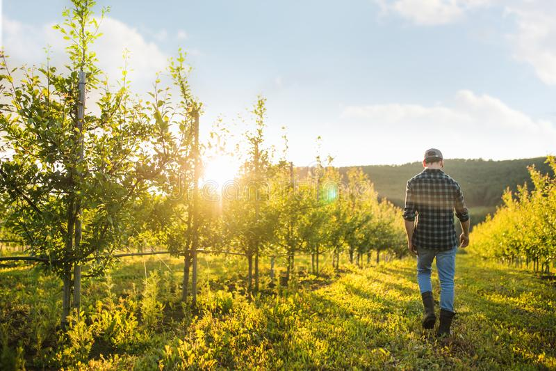 A rear view of farmer walking outdoors in orchard at sunset. Copy space. stock images