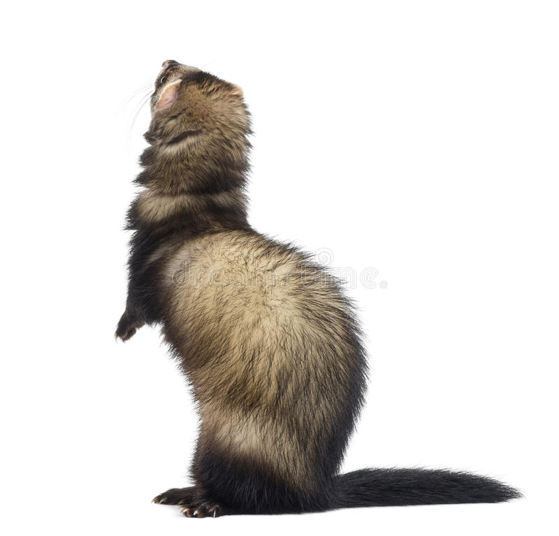 Rear view of a Ferret standing on hind legs and looking up royalty free stock photos