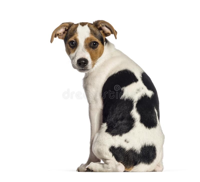 Rear view of Fox Terrier dog, 3 months old. Sitting in front of white background royalty free stock photo