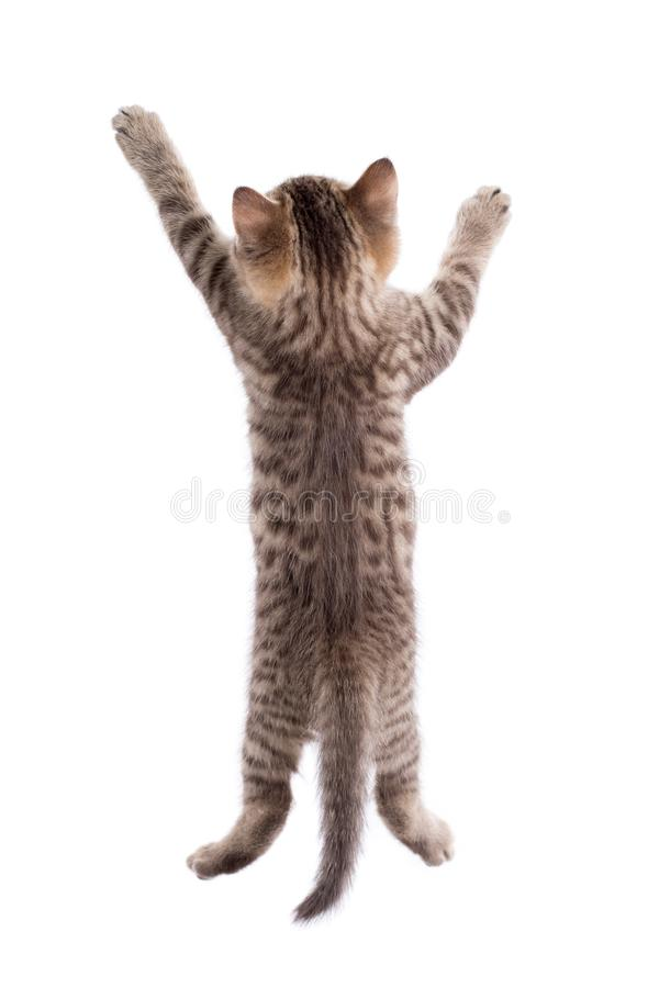 Rear view of funny tabby cat kitten isolated stock photo