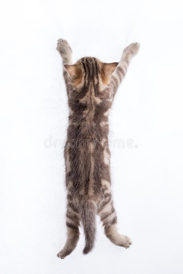 Rear view of funny tabby kitten royalty free stock image