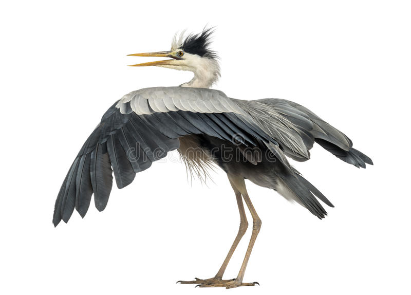 Rear view of an Grey Heron flapping its wings,. Ardea Cinerea, 5 years old, isolated on white stock photos