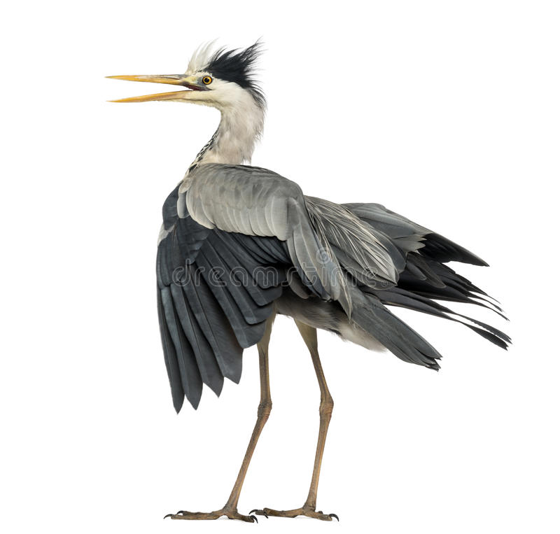 Rear view of an Grey Heron flapping its wings, screaming, Ardea. Cinerea, 5 years old, isolated on white royalty free stock photo