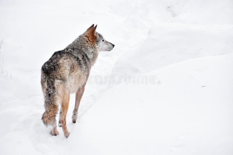Rear view of grey wolf standing in winter snow day royalty free stock photo