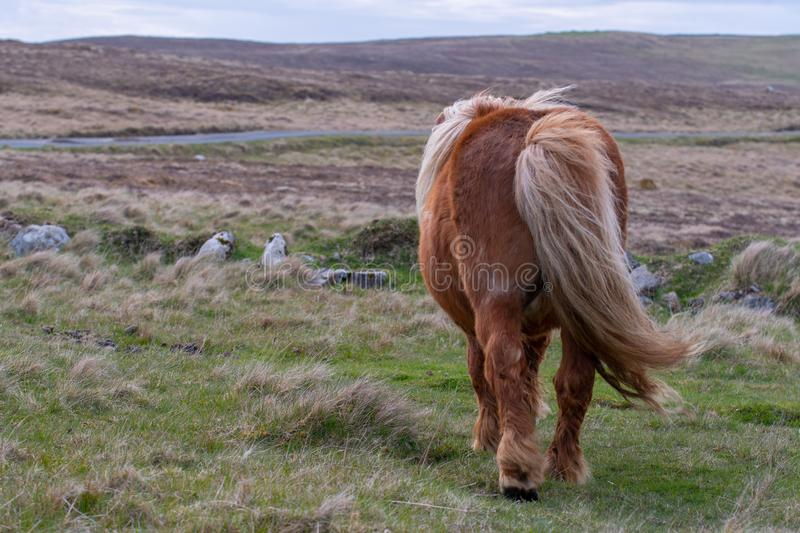 A rear view of a lone Shetland Pony on a Scottish Moor on the Sh royalty free stock images