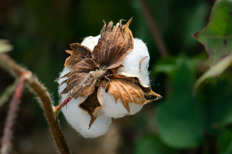 Rear View of Cotton Boll Stem in Cotton Field royalty free stock photo