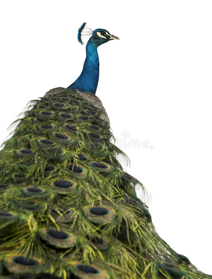 Rear view of a male Indian Peafowl. In front of white background stock photography
