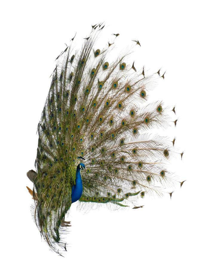 Rear view of a male Indian Peafowl. Side view of Male Indian Peafowl displaying tail feathers in front of white background royalty free stock image