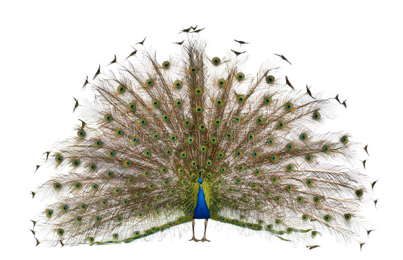 Rear view of a male Indian Peafowl. Front view of Male Indian Peafowl displaying tail feathers in front of white background stock photos