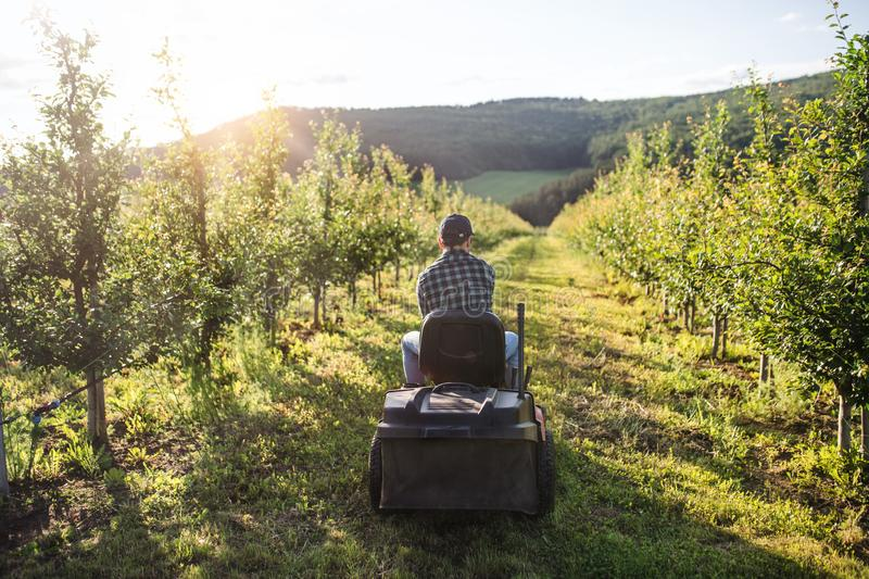 Rear view of mature farmer driving mini tractor outdoors in orchard. royalty free stock photo
