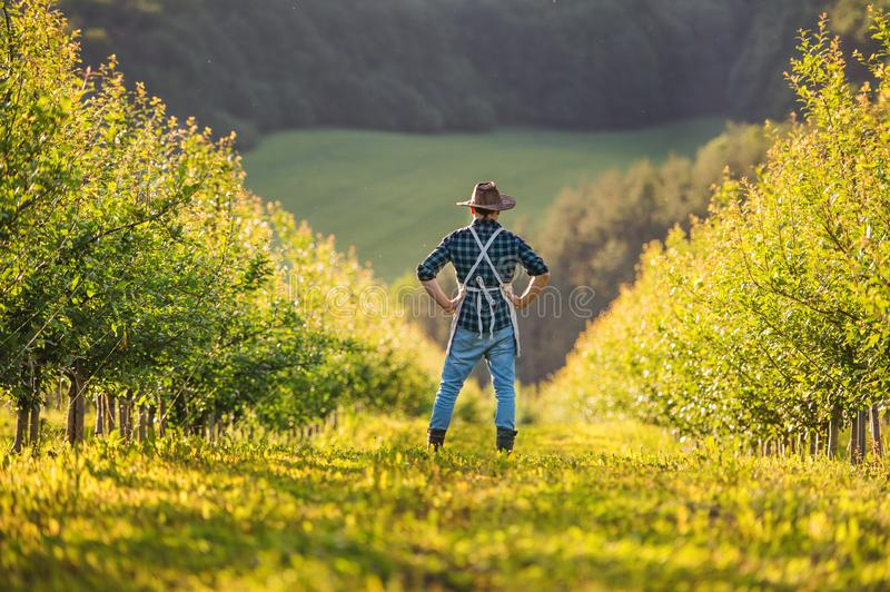 A rear view of mature farmer standing in orchard at sunset. Copy space. royalty free stock images