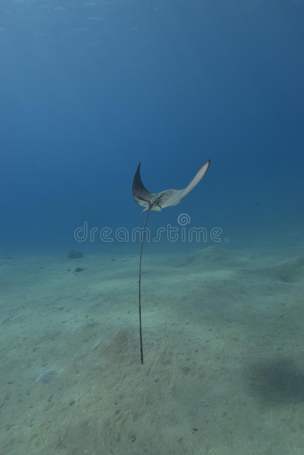 Free Rear View Of An Eagle Ray Royalty Free Stock Images - 12449679