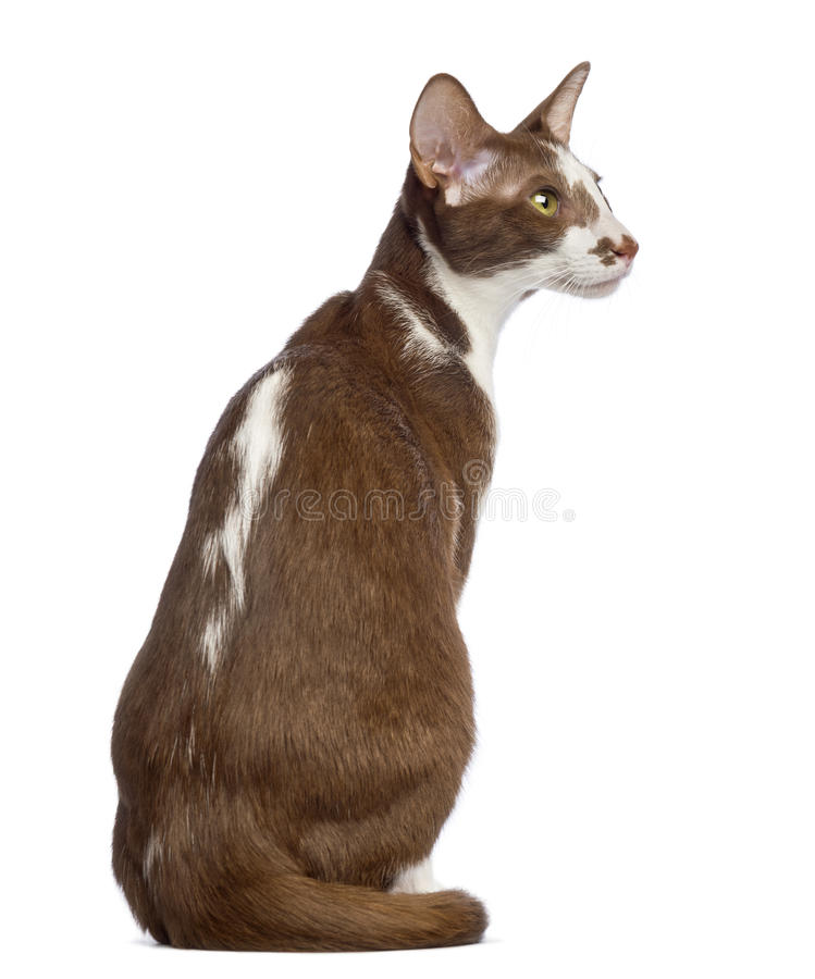 Rear view of an Oriental Shorthair sitting. And looking away against white background stock image