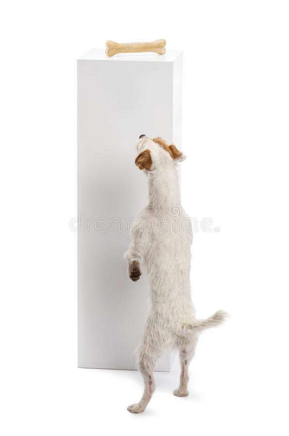 Download Rear View Of A Parson Russell Terrier Standing Stock Image - Image: 28177525