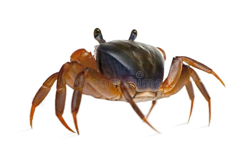 Rear view of Patriot crab, Cardisoma armatum. Rear view of Patriot crab, Cardisoma arma, in front of white background stock photography